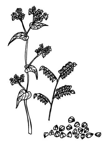 Buckwheat plant and buckwheat groats sketch. Vector