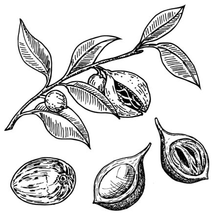 Nutmeg spice vector sketch. Ground seasoning nut. Dried seeds and fresh mace fruits, nutmeg branch