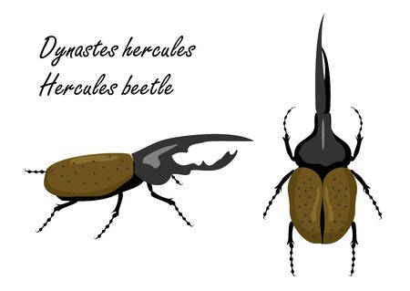 Cute huge rare crawly Dynastes giganteus on white backdrop. Hercules beetle