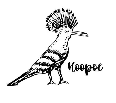 Croquis de huppe fasciée, illustration vectorielle. Oiseau huppe fasciée dessiné à la main. Illustration gravée. Croquis dessiné à la main.