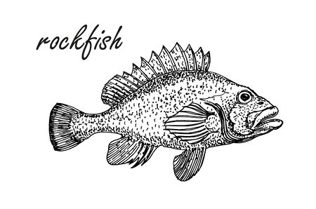 Ink sketch of rockfish. Hand drawn vector illustration of redfish isolated on white background. Retro style. Ilustrace