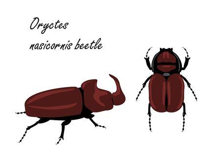 European rhinoceros beetle Oryctes nasicornis . Insects isolated on white background.