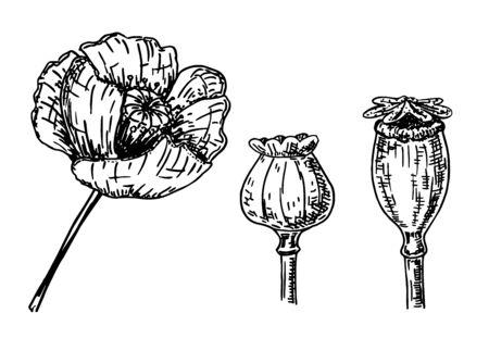 Hand drawn ink of Poppy flower and Corn poppy, poppy boxes. Vintage sketch set. Vector illustration.