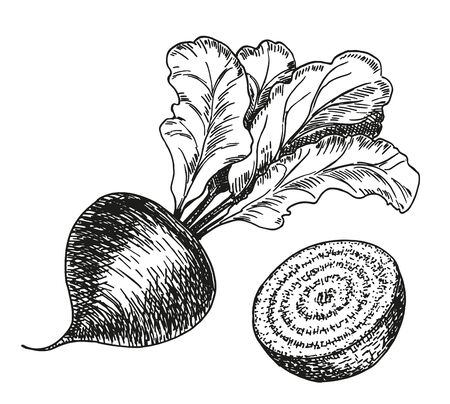 Vector hand drawn set of beetroot. Farm vegetables Isolated. Engraved art. Organic sketched vegetarian objects. For restaurant, menu, grocery, market, store, party, meal