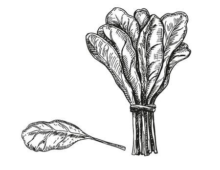 Spinach leaves hand drawn vector set. Fresh farm green leaves handmade retro illustrations. Vegetable engraved style illustration.