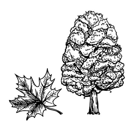 Maple trees. Branch and leaf. Ink sketch isolated on white background. Hand drawn vector illustration. Retro style
