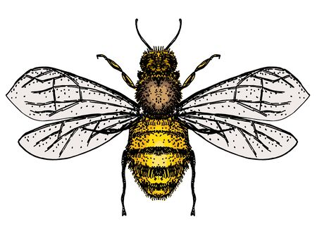 Vector engraving illustration of honey bee isolate on white background. Bee logo, hand drawn sketch of bee, vector artwork.