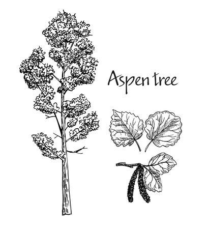 Croquis dessiné main tremble. Croquis de vecteur d'arbre à feuilles caduques. Feuilles de peuplier faux-tremble, peuplier faux-tremble