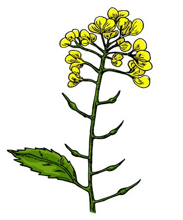 Mustard plant branch vector drawing. Botanical flower illustration. Vintage hand drawn spice sketch. Herbal seasoning ingredient, culinary and cooking flavor Ilustração