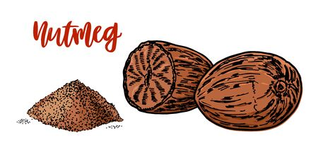 Nutmeg hand drawn vector illustration. Whole and ground fragrant nutmeg. Isolated sketch of Nutmeg. Engraved illustration. Nutmeg spice.