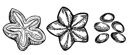 Hand drawn sacha inchi seed. Engraved vector illustration. Botanical illustration of hand drawn peanuts. Medical, cosmetic plant. Moisturizing serum,essential oil. Aromatherapy package design skincare Ilustração