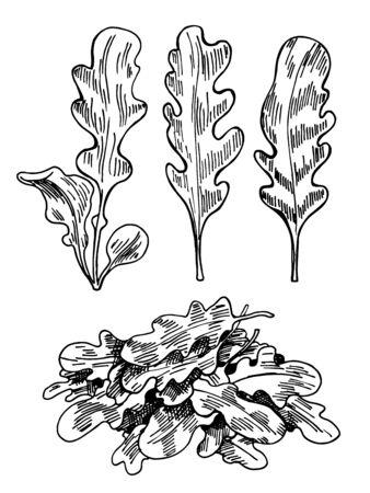 Hand drawn sketch arugula. Organic fresh food vector illustration isolated on white background. Retro vegetable rucola salad illustration. Sketch style botanical picture Ilustrace