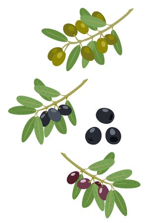 Olives and olive branches vector collection. Greek olives branch, summer oil food tree twigs and leaves vector illustration Иллюстрация