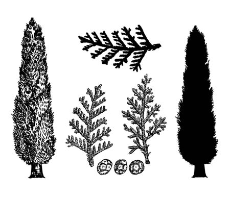 Hand drawn vector illustration of cypresses. Vintage style. Branches and cones of cypress. Silhouette.