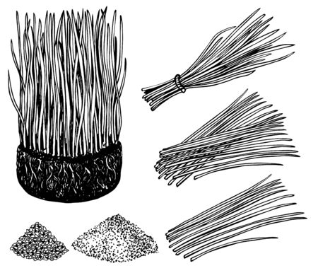 Nutritious homegrown wheat grass or barley grass plants. Isolated sprouts. Bunch of wheat with roots. Barley grass and powder. Agricultural field. Growing young sprouts plant shoots. Vector image.