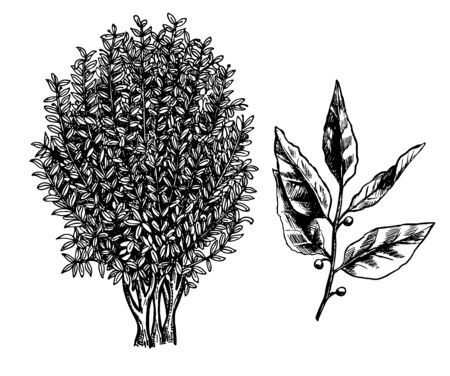 Bay laurel tree, branch and leaves. Ink sketch isolated on white background. Hand drawn vector illustration. Retro style. Ilustración de vector
