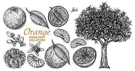 Vector set oranges hand drawn sketch. Hand drawn set of different kinds of citrus fruits. Food elements collection for design, Orange tree. Vector illustration.
