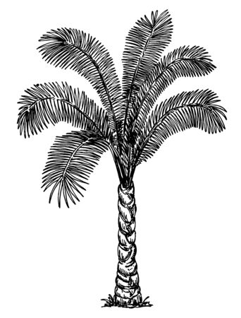 Palm Tree. Sketch of Dates Fruit on palm isolated on white. Tropical palm tree, black on white background. Hand Drawing Floral on Beach. Travel and Vacation Ink Element Template. Vector sketch