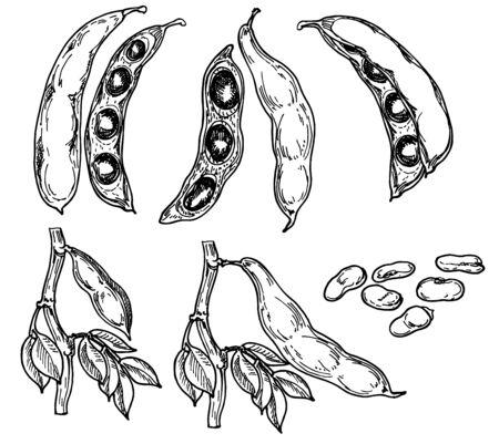 Detailed hand drawn black and white vector illustration set of string bean, leaf. Sketch. Legume crops. Bean cultures. Gluten free food elements. Vegetables - beans, seeds, pods in engraved style. Banco de Imagens - 150221466