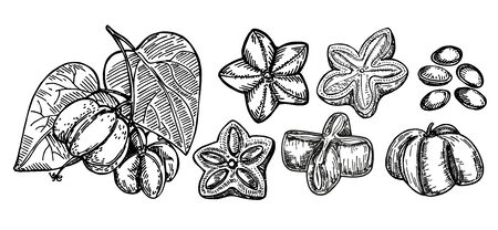 Sacha inchi plant and seed sketch. Engraved vector illustration. Medical, cosmetic plant. Sacha inchi essential oil. Cosmetics, medicine, treating, aromatherapy package design skincare. Banco de Imagens - 150431367