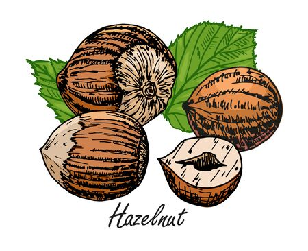 Hazelnut hand illustration. Set of hazelnuts icons isolated on white background. Design elements for logo, label, emblem, sign, poster. retro style Banco de Imagens - 150431369