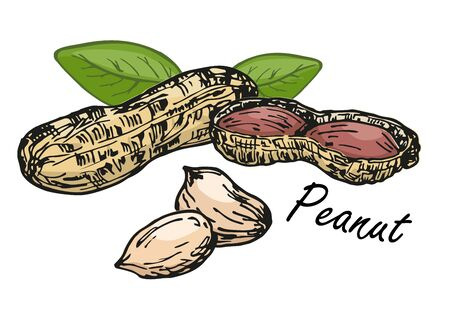 Peanut set. Color sketch of nuts. Hand drawn vector illustration. Isolated on white background. Retro style.