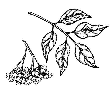 Black elderberry vector sketch. Hand drawn botanical branch with berries and leaves. Engraved illustration of herb. For tea, organic cosmetic, medicine, aromatherapy, botanical illustrations