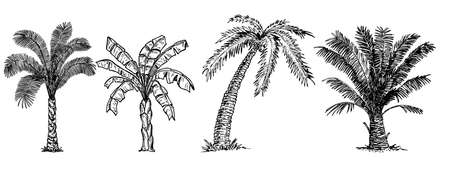 Palm trees sketch set. Tropical palm trees set, isolated on white background. Banana, coconut and different palm trees. Vector sketch illustration. Hand drawn tropical plants.