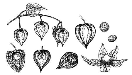 Hand drawn sketch style physalis set. Physalis with seeds and leaves. Sketch style vector illustration. Organic food. For cooking, cosmetic package design, healthcare.
