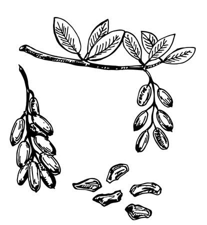 Hand drawn style barberry set. Sketch illustration of barberry. Barberry with seeds and leafs. Sketch style vector illustration. Organic food vector.