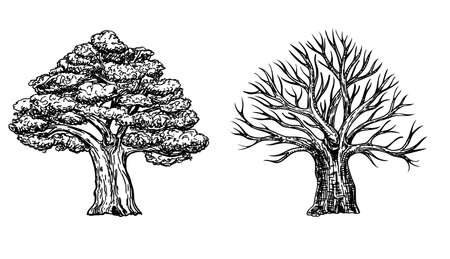 Oak with leaves and winter oak without leaves. Vector hand drawn illustration of big tree isolated on white background. Oak crown in sketch style. Ilustração