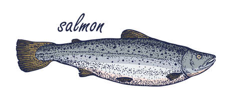 Color sketch of salmon. Hand drawn vector illustration of fish isolated on white background. Retro style.