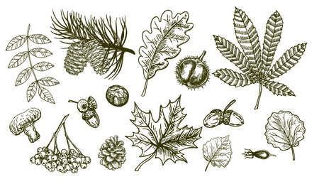 Autumn sketch set with leaves, berries, fir cones, mushrooms, acorns and nuts. Forest botanical elements for decoration. Vintage fall seasonal decor. Oak, maple, rowan, chestnut leaf drawing.