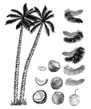 Coconut palms, their fruits and leaves set. Coconut palms sketch set.