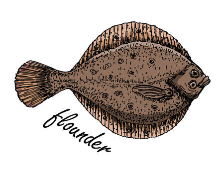 Flatfish. Ink sketch of flounder. Hand drawn vector illustration isolated on white background. Retro color sketch style.