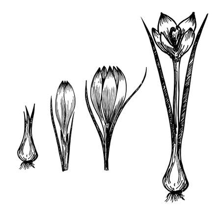 Flower plant growth concept vector design illustration. Crocus germination from corm bulb to sprouts to flower. Saffron. Life cycle phases evolution. Isolated black sketch on white background. Ilustracje wektorowe