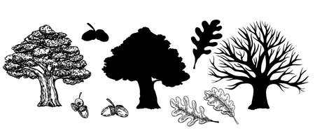 Oak with leaves and winter oak without leaves. Silhouette of an oak tree. Vector hand drawn illustration of big tree isolated on white background. Oak crown in sketch style. Leaves and acorns. 矢量图像