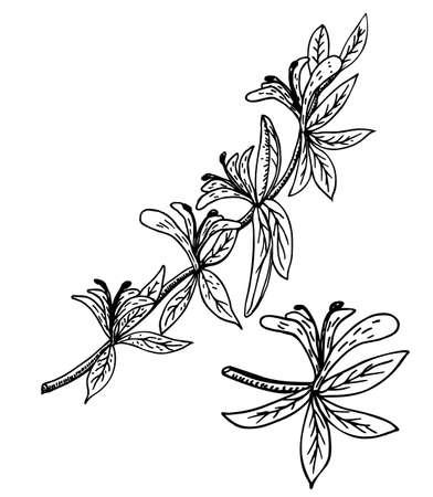 Honeysuckle Lonicera periclymenum , or woodbine, medicinal plant. Branch honeysuckle. Hand drawn sketch botanical vector illustration