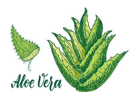 Vector hand drawn botanical aloe vera. Aloe plant, branch, aloe juice sketch. Collection with engraving.