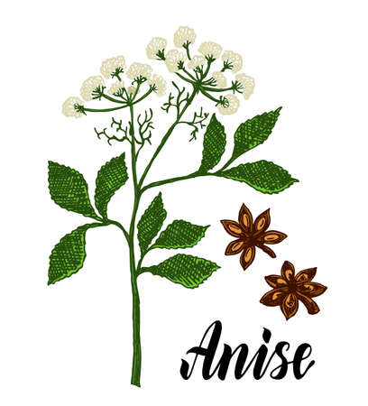 Anise herbal illustration. Botanical sketch style. Anise branch, anise leaves and seeds. Isolated medical flower and leaves. For packaging tea, condiment, oil. Botanical plant vector illustration.