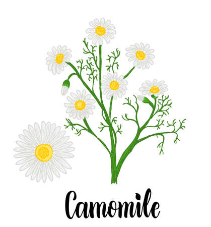 Chamomile or daisy flowers isolated on white background. Camomile garden. White flowers of German chamomile daisy. Medicinal herbs collection. Vector illustration botanical. Ilustração