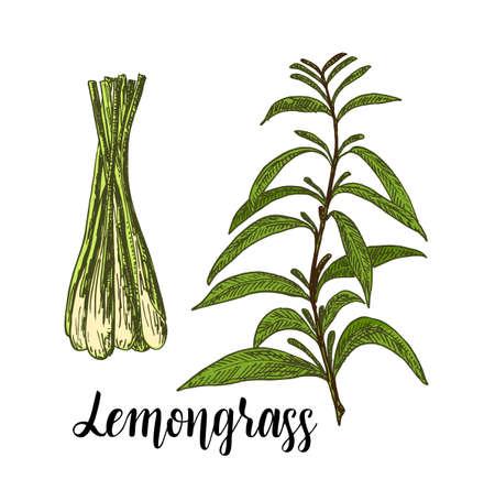 Lemongrass color vector set. Hand drawn Lemongrass tea herb Illustration. Detailed retro style images. Vintage sketch element for labels, packaging and cards design. Ilustração