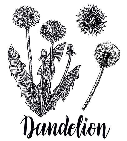 Dandelion medicinal botanical isolated illustration Flying dandelion seeds