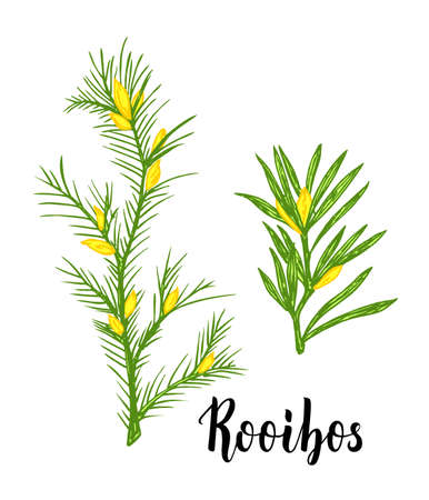Rooibos tea plant, leaf, flower. Branch of rooibos Hand drawn color sketch illustration, line art. African rooibos tea, hot drink. Herbal tea. Isolated on white background 矢量图像