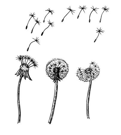 Dandelion, flying seeds of dandelion. Dandelion sketch in a vector style. Isolated. Full name of the plant dandelion. Vector flower for background, texture, wrapper pattern, frame or border., flying