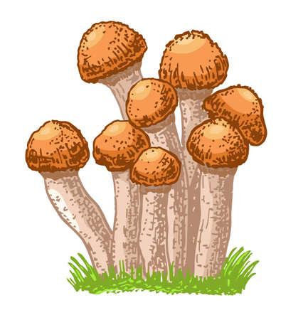 Edible mushrooms honey agarics. Hand drawn armillaria mellea edible fungus. Sketch style natural organic vitamin food. Healthy vegetarian gourmet ingredient. Vector isolated illustration 矢量图像