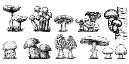 Various mushrooms set. Hand drawn sketch style. Oyster, champignon, chanterelle, porcini, morel, trumpet, shiitake, portobello.Collection of forest mushroom species. Vector illustrations isolated.