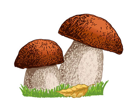 Porcini mushroom hand drawn vector illustration. Sketch food drawing isolated on white background. Organic vegetarian product. For menu, label, product packaging, recipe. Mushroom boletus.