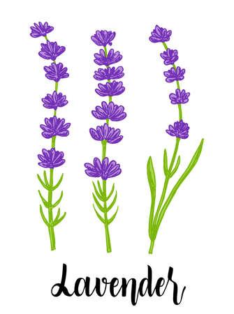 Vector sketch lavender illustration. Hand drawn wedding herb, plant. Botanical rustic trendy greenery vector illustration. Fragrant French wildflower. Violet summer honey plant sketch.