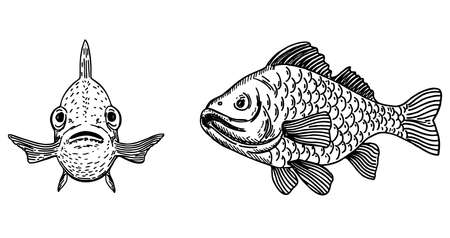 Vector illustration of fish. Carp front view and side view. Sketch fish design. Simple vector illustration of sea animals.